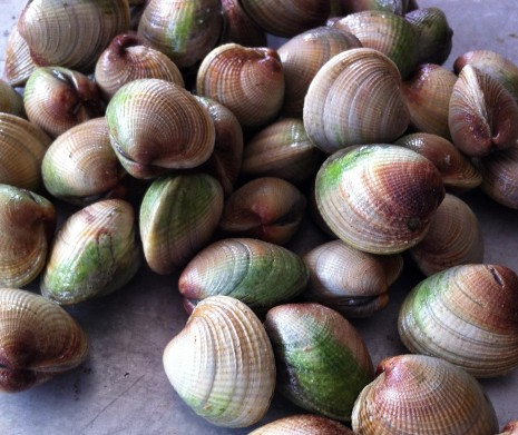 blog-New Zealand cockles